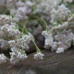 Chaga eliksiiri koostis - raudrohi