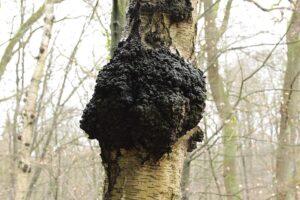 Chaga - must pässik puul