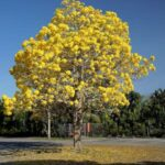Kollane sipelgapuu