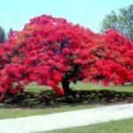 Punane silegpapuu
