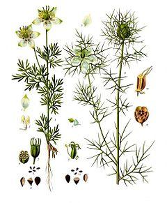 Mustköömne õli taimed